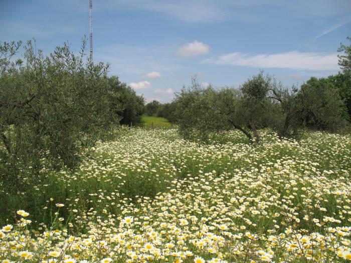 Daisies olivos