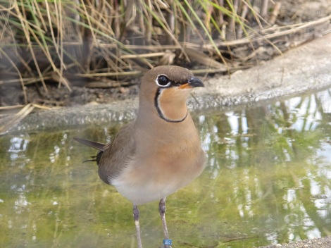 "pratincole,<div class=""mceTemp mceIEcenter""><dl id=""attachment_6596"" class=""wp-caption aligncenter"" style=""width: 480px""><dt class=""wp-caption-dt""><a href=""http://scribblerinseville.files.wordpress.com/2013/03/crested-crane.jpg""><img src=""http://scribblerinseville.files.wordpress.com/2013/03/crested-crane.jpg?w=470"" alt=""crane, Cañada de los Pajaros, Sevilla"" width=""470"" height=""352"" class=""size-large wp-image-6596"" /></a></dt><dd class=""wp-caption-dd"">Crested crane - this one loved posing for photos."