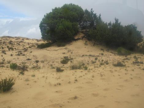 Doñana, pine, sand dune, Huelva, Spain, protected, UNESCO, National PArk, Spain