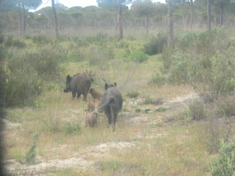 jabeli, wild boar, piglets, Doñana