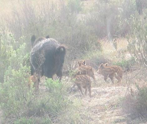 javeli, jabeli, wild boar, Doñana