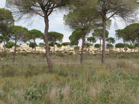 rabiits, lynx, Iberian lynx, Doñana National Park, UNESCO, Spain