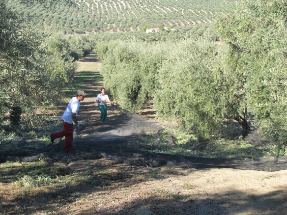 Harvesting the olives - by both man and machine.